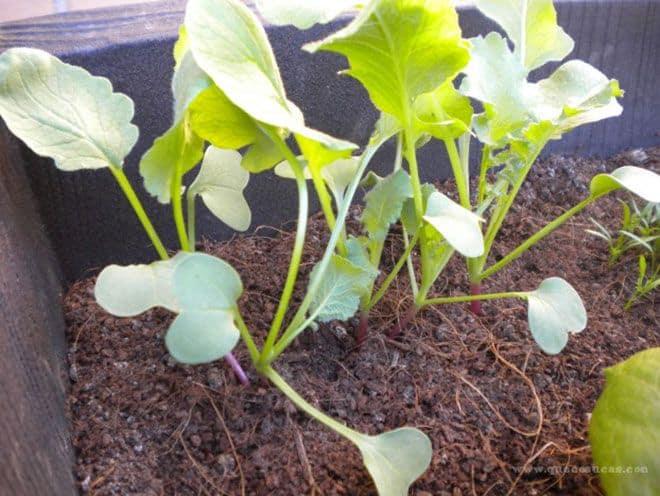 hojas de rabanitos
