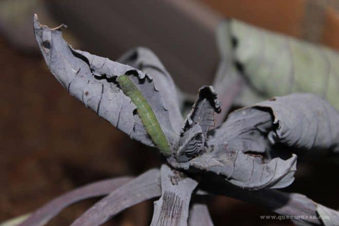 gusano verde grande en huerto urbano