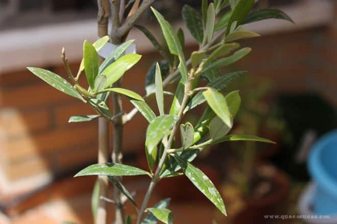 El olivo de nuestro huerto urbano que cosucas - Olivo en maceta ...