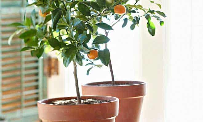 naranjo enano en maceta